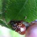 Eye spotted lady beetle