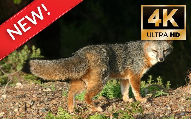 Fox Wallpapers Hd 4k New Tab Temas De Fox