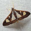Ficus Leaf Roller Moth