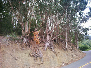Photo: Eucalyptus frequently drop large branchs.