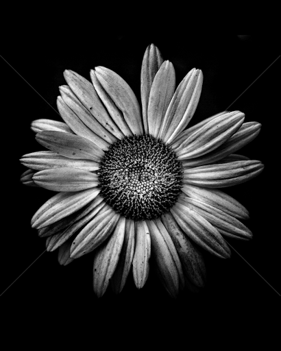 Backyard flowers in black and white 13 flowers plants black backyard flowers in black and white 13 by brian carson black white flowers mightylinksfo