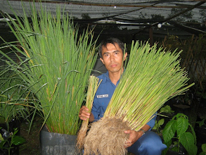 Photo: Pak Agus, of Sumatra, Indonesia, showing a comparison between a conventionally grown rice plant and a SRI rice plant. [Photo provided by Victor Lee]