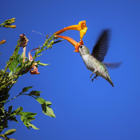 Hummingbird by Maria Epperhart - Animals Birds ( bird, flying, wings, hummingbird, nectar, wildlife, flowers,  )
