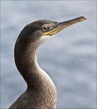 Photo: Bird N°28 J. European Shag Latin: Phalacrocorax aristotelis