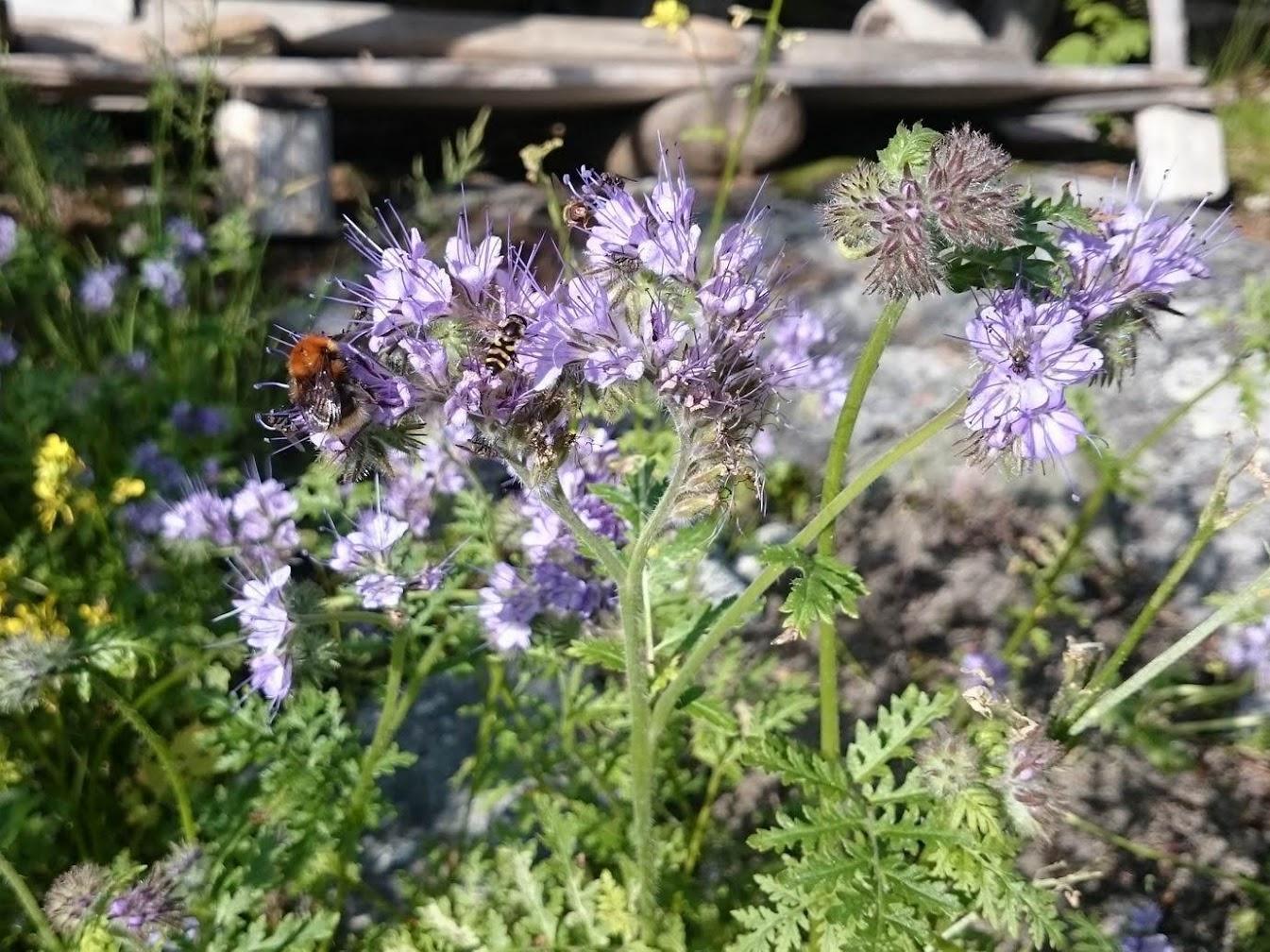 Шмели и пчёлы на медоносах