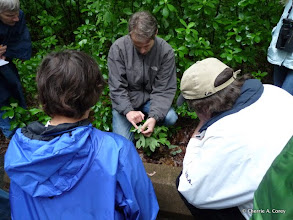 Photo: Sam Jaffe points out spicebush swallowtail egg on sassafras, 6.12.11