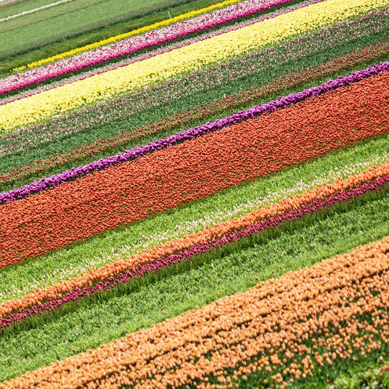 Tulip di bondell