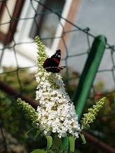 Photo: wir haben ja viel Verwüstung hier um uns rum... aber so manche Lichtblicke gibt es...hier unser Schmetterlingsflieder, der auch im größten Schutt ringsrum seine Gäste versorgt...