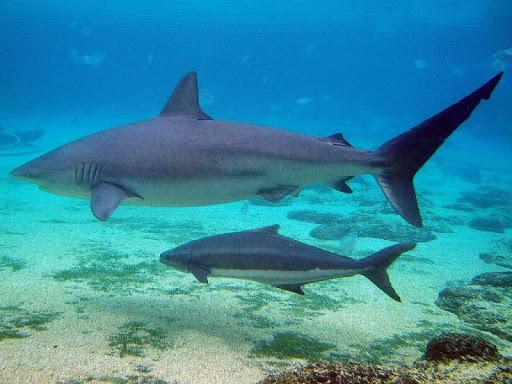 Bull Sharks Wallpaper Images