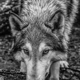 Wolf by Garry Chisholm - Black & White Animals ( wolf, nature, lapland, canine, ranua, finland, garry chisholm )