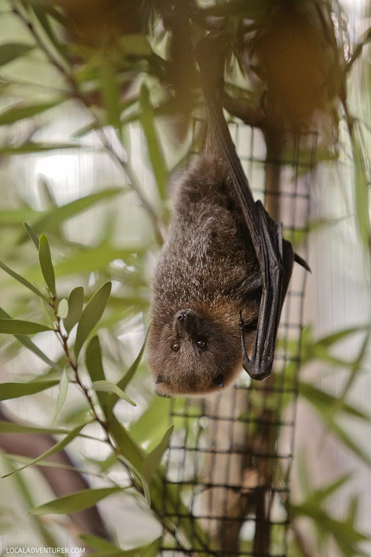 Rodrigues Fruit Bat (pteropus rodricensis) at the San Diego Wild Animal Park.