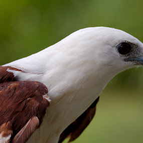White Eagle by Heri Cahyono - Animals Birds