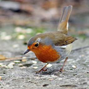 Feeding Robin by Peter Kostov - Animals Birds ( bird, robin, park, nature, sigma, nikon, animal )