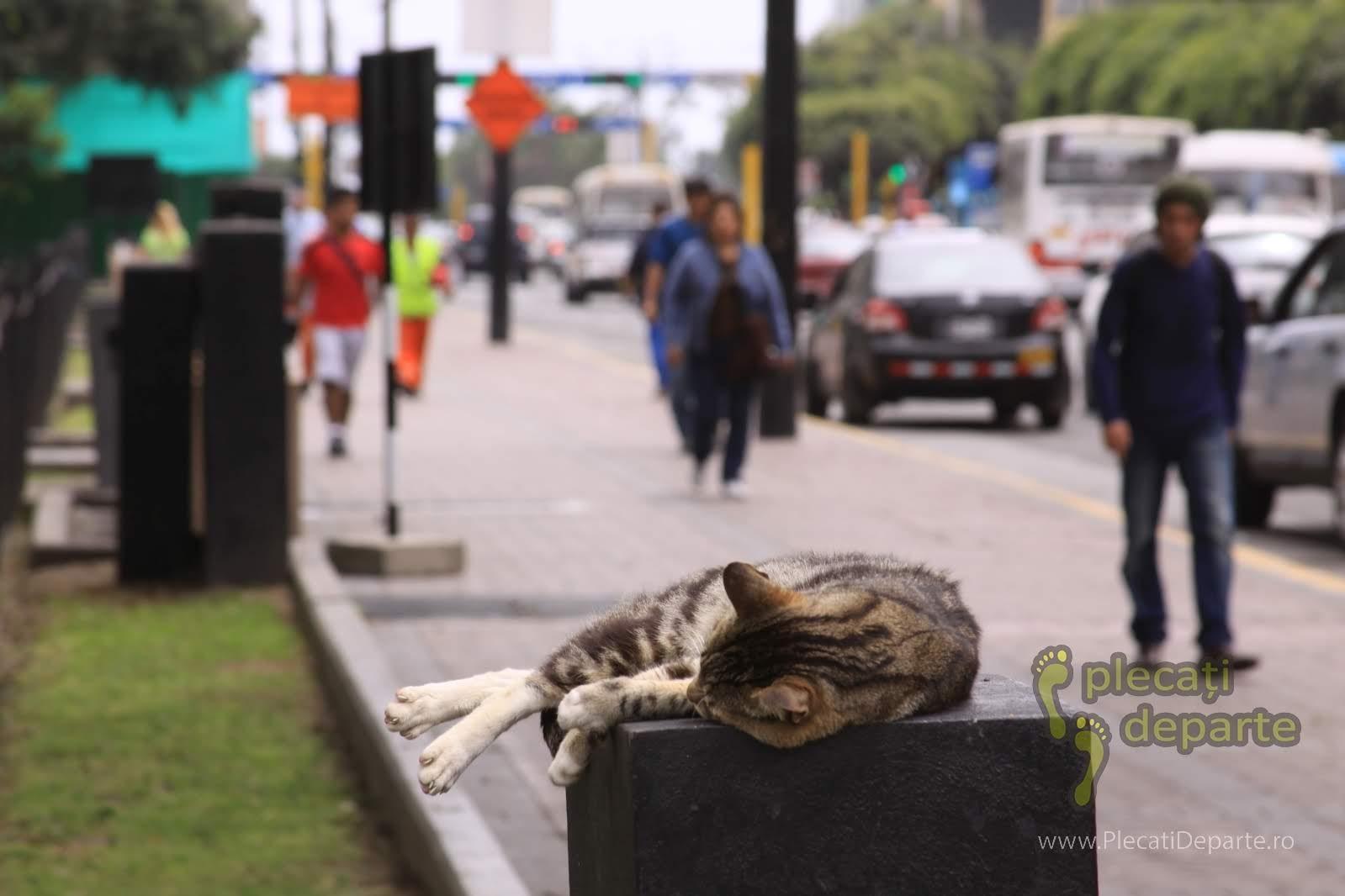 pisica pe strada, in cartierul Miraflores, in zona centrala a orasului Lima, capitala Peru
