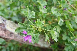 Photo: Mauve sylvestre, Malba arrunta (Malva sylvestris)
