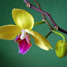 For pleasure by Helena Moravusova - Flowers Flower Arangements ( yellow, orchid, flower )