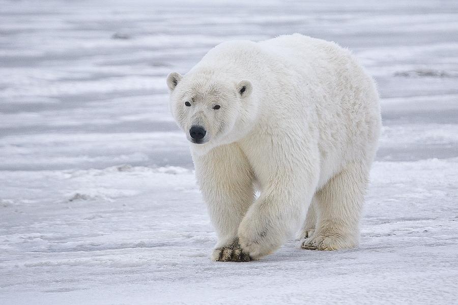 File:Polar Bear - Alaska.jpg - Wikimedia Commons