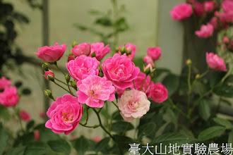 Photo: 拍攝地點: 梅峰-杜鵑園旁 拍攝植物: 蔓性玫瑰 拍攝日期:2012_05_19_FY