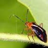 Mirid bug