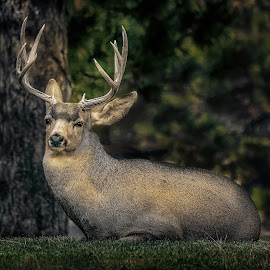Alpha Buck Recovering from the Rut by Bruce Feldmeyer - Animals Other Mammals ( deer, resting, buck, autumn, wildlife )