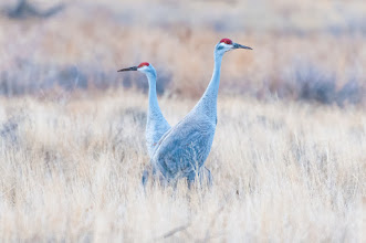 Photo: Sandhill cranes in field.