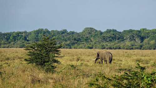 Sri. Lanka Wilpattu National Park . Elephant with long tusks