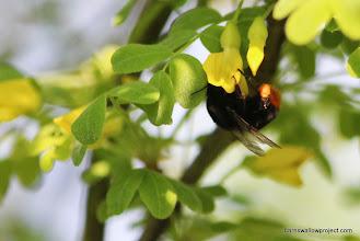 Photo: A huuuge  bee! (What do I look like, an entomologist?!)