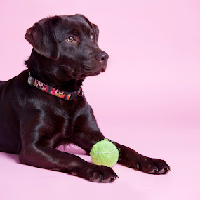 Chocolate Lab with Ball by Aimee Hultzapple - Animals - Dogs Portraits ( ball, dog, chocolate lab )