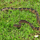 South American Bushmaster