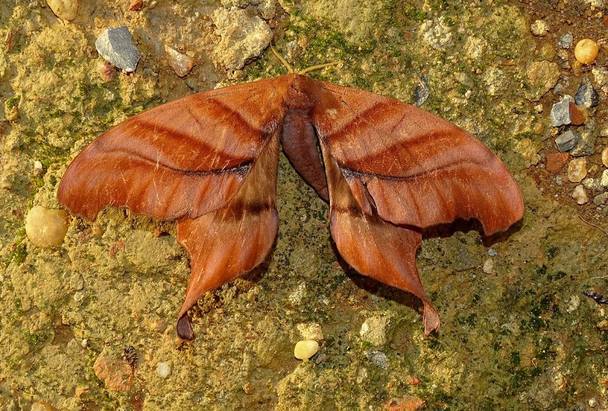 Paradaemonia meridionalis