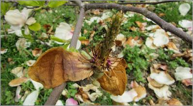Photo: Magnolie (Magnolia) - din Parcul din Piata 1 Decembrie 1918 - 2017.04.12