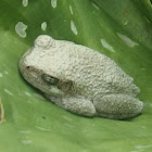 Cope's Grey Treefrog