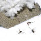 Tiny Braconid Wasps