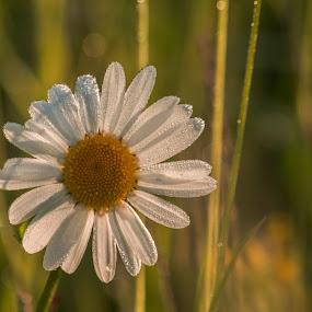 daisy by Bojan Berce - Flowers Single Flower (  )