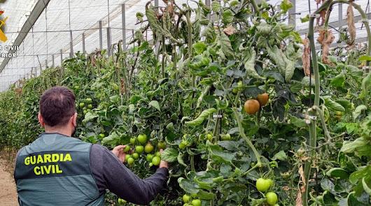 Roba de noche tomates en invernaderos de El Ejido y La Mojonera