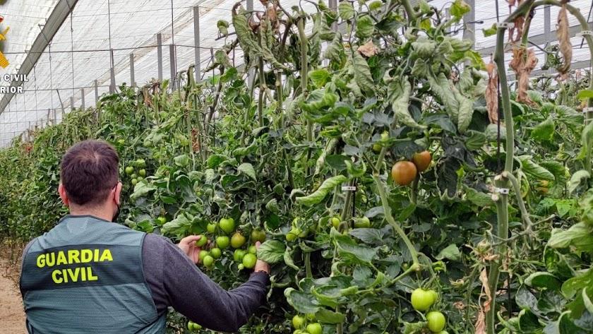 La Guarcia Civil recupera más de 150 kilos de tomate.