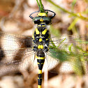 Golden-ringed dragonfly; Libélula tigre