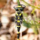 Golden-ringed dragonfly; Libélula tigre