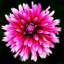 Dalhia n000214 by Gérard CHATENET - Flowers Single Flower