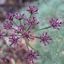 Columbia desert parsley