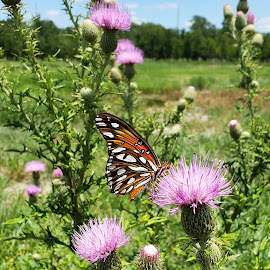 Gulf Fritillary on Texas Thistle 4 by Colin Toone - Instagram & Mobile Android ( butterfly, ornage, purple, texas, flower )