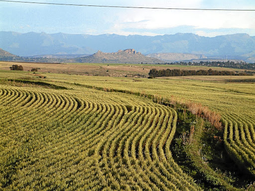 Rolling plains: Sandstone Estates has a 4,500ha farm on the Lesotho border in the eastern Free State. Mnqobi Ngubane's study argues that black farmers would be capable of farming successfully if they were financed adequately. .Picture: ROBERT BOTHA