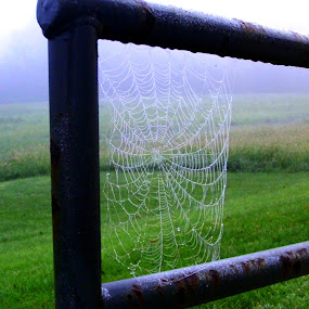 Dew on Web by Kathy Rose Willis - Nature Up Close Webs ( fog, green, dew, nature up close, web, morning, black,  )