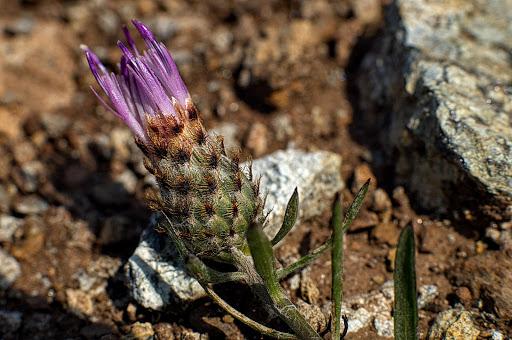 Centaurea gallaecica