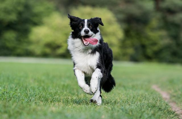 border collie là một trong những giống chó thông minh dễ nuôi