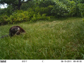 Photo: otter kit with mom behind