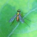 Green black fly