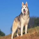 Husky Wallpapers icon