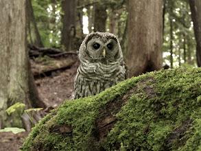 Photo: Curious juvenile Barred Owl