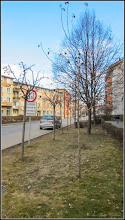 Photo: Arbore de gumă (Liquidambar orientalis) - de pe Str. Libertatii - 24.febr.2017